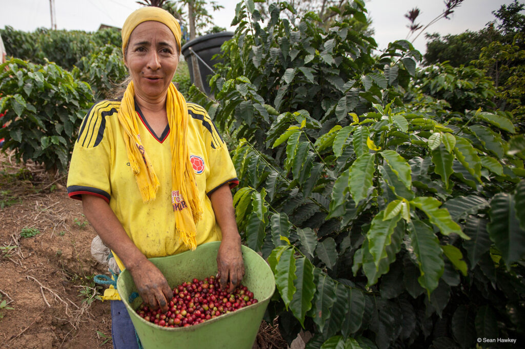 Fair trade coffee cherries freshly picked on the Rosette Network